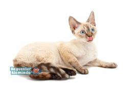 Tüy Dökmeyen Kedi Cinsleri, En Az Tüy Döken 10 Kedi Irkı
