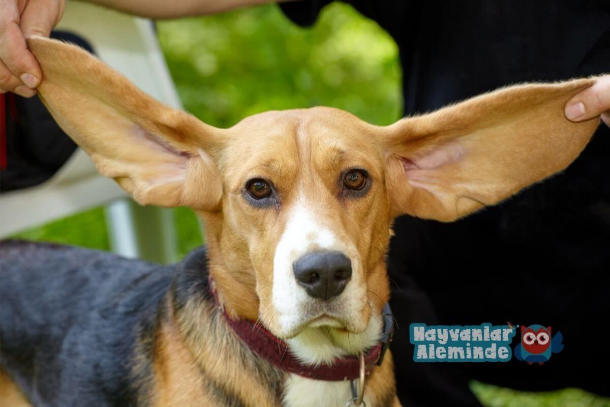 Uzun kulaklı köpek cinsleri