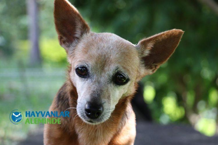 Yaşlı Köpeklerde Sık Görülen Hastalıklar