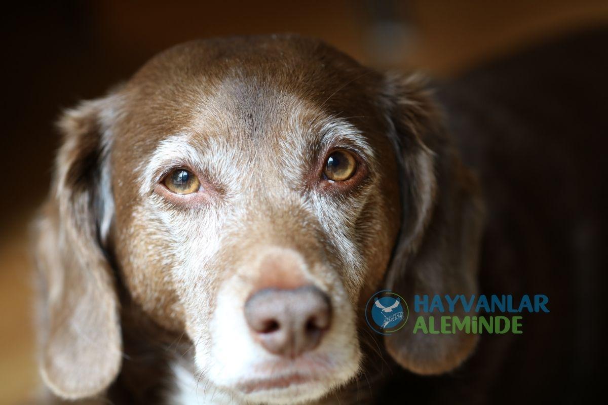 Yaşlı Köpeklerde Sık Görülen Rahatsızlıklar