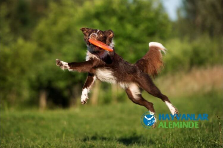 en kolay öğrenen köpek cinsi