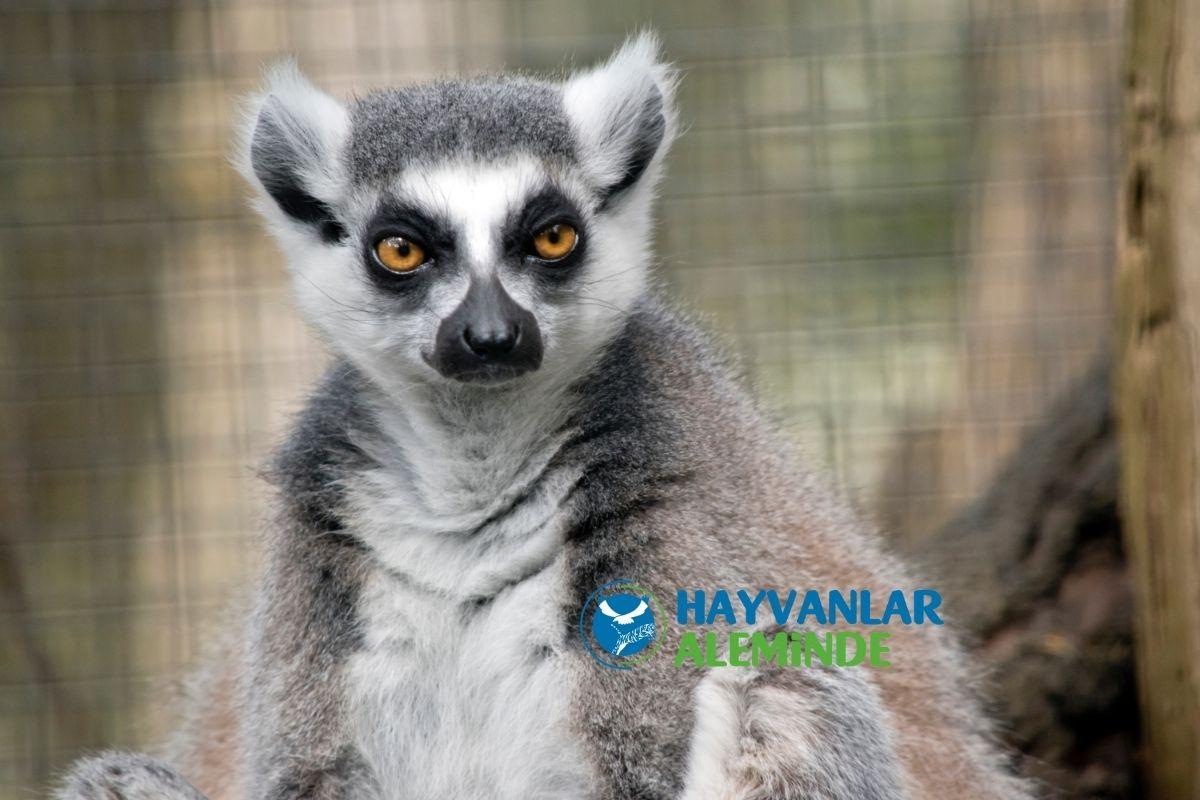 lemur - makigiller