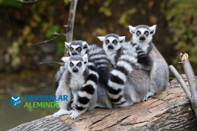 lemur özellikleri