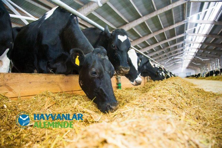 süt ineği günlük maliyet