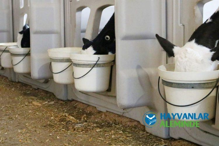 süt inekleri rasyon