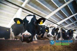 Süt İneklerinin Bakımı ve Beslenmesi (Günlük Yem Rasyonu, Maliyeti)