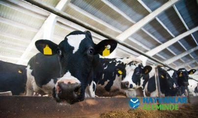 süt ineklerinin bakımı