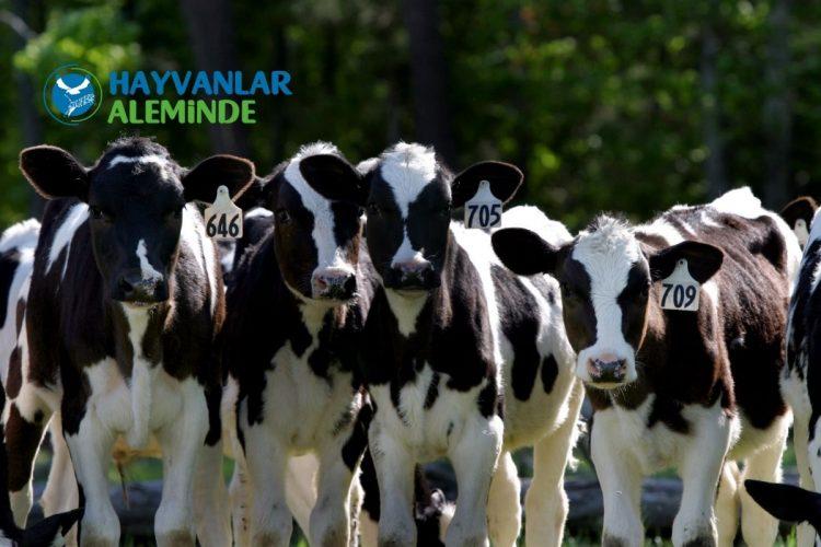 süt ineklerinin beslenmesi