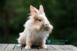 Aslanbaş Tavşanı Özellikleri, Bakımı, Davranışları