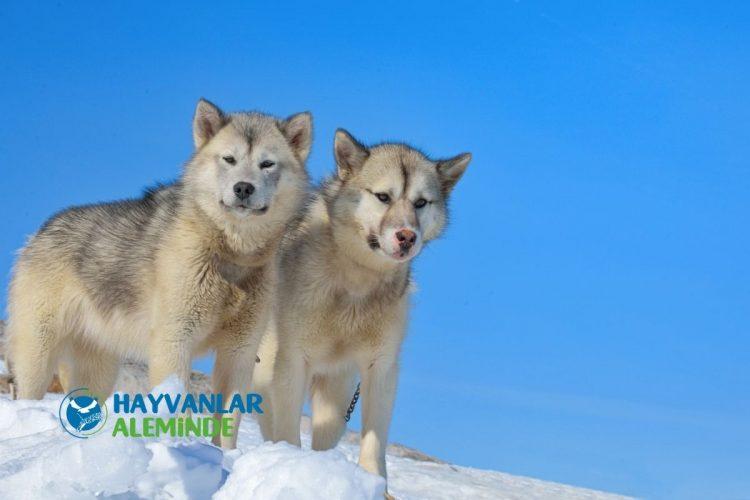 Grönland Köpeği