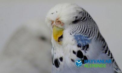 İngiliz muhabbet kuşu