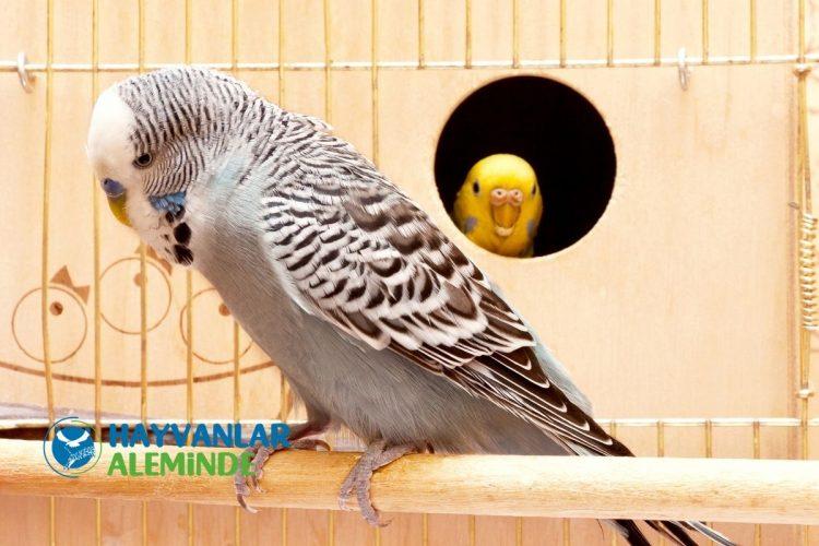 İngiliz muhabbet kuşu bakımı