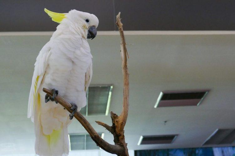 Kakadu Papağanı Bakımı