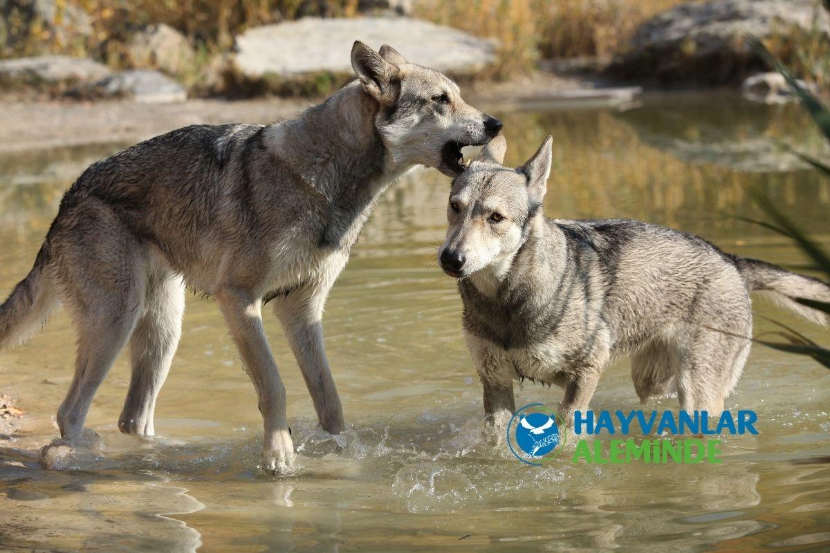 Kurt Köpeği Cinsleri