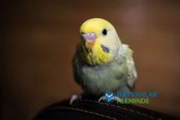 Rainbow Muhabbet Kuşu Özellikleri, Bakımı, Tarihçesi, Beslenmesi