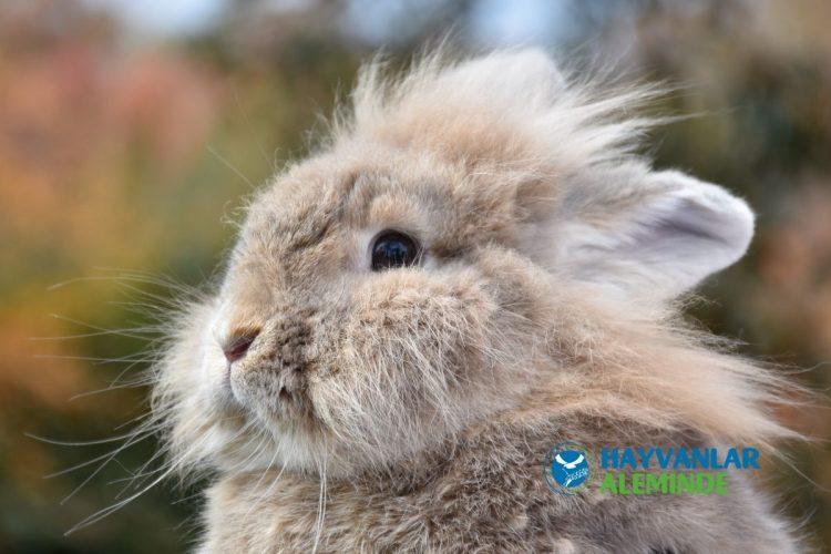 aslanbaş tavşanı bakımı