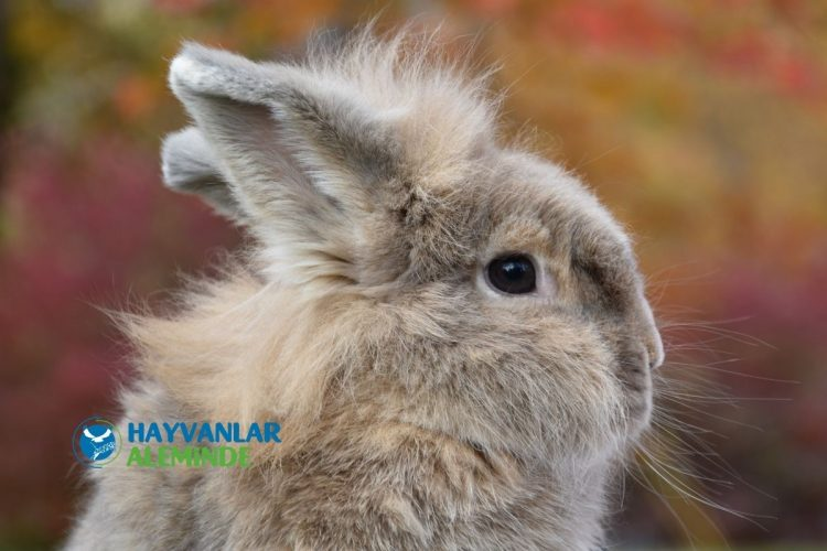 aslanbaş tavşanı özellikleri