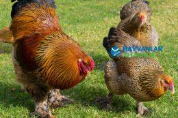 Brahma Tavuk ve Horoz Cinsi Özellikleri ve Bakımı