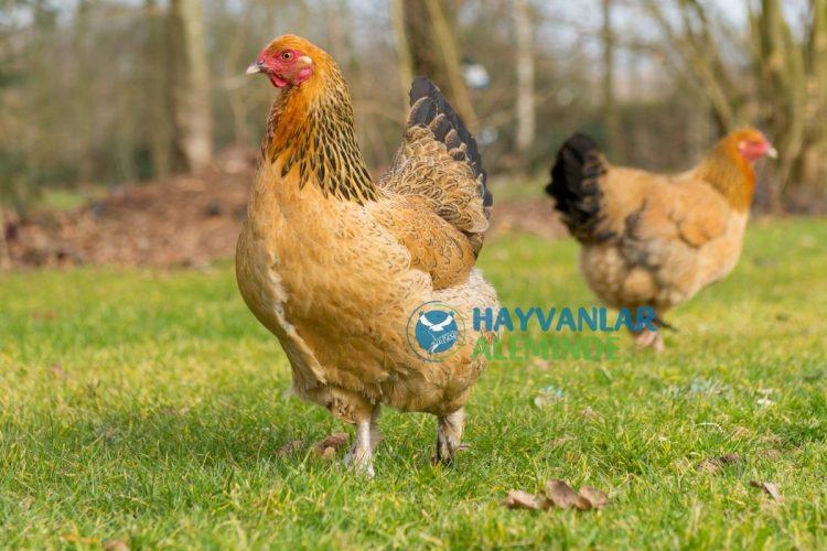 brahma tavuk özellikleri