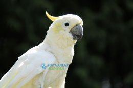 Kakadu Papağanı Özellikleri, Bakımı, Beslenmesi ve Eğitimi