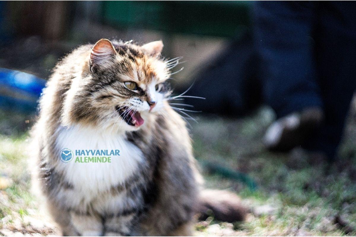 kedi tıslaması