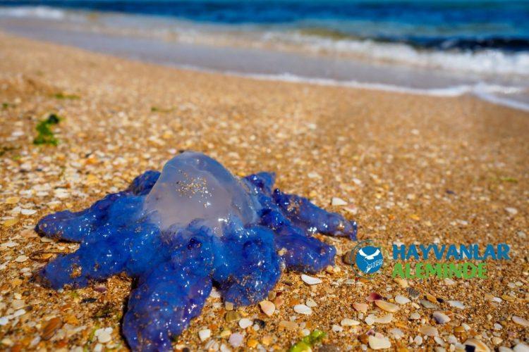 kıyıda mavi denizanası