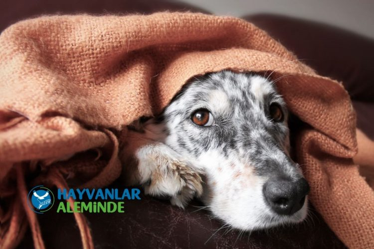 köpeklerde kanlı ishal tedavisi