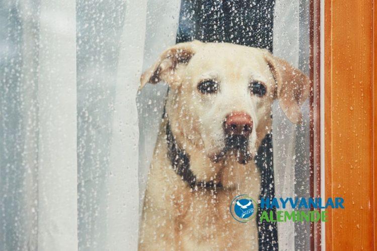 köpeklerin üzgün bakması