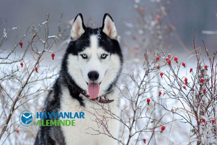 kurt köpeği cinsi - sibirya kurdu