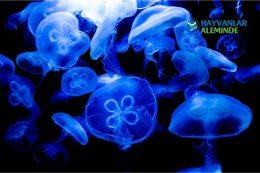 Mavi Denizanası Nedir, Zehirli Midir? Neden Kıyaya Vurur?
