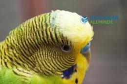 Muhabbet Kuşu Neden Ölür? Kuşların Ölüm Sebepleri ve Belirtileri