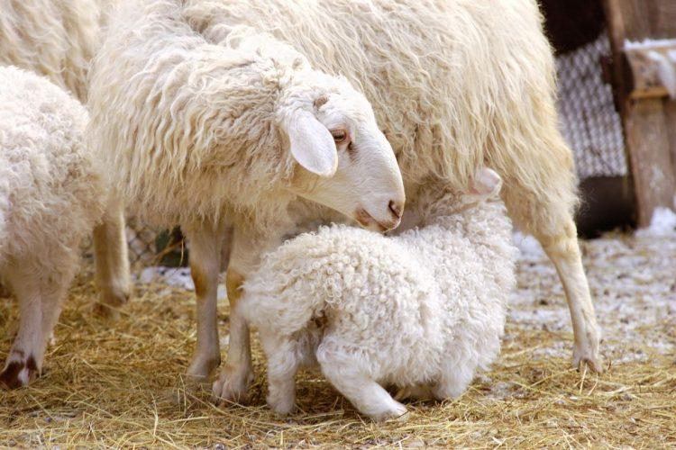 gebe koyunlar için beslenme