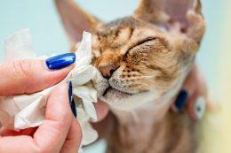 Kedilerde Göz Akıntısı ve Enfeksiyonu