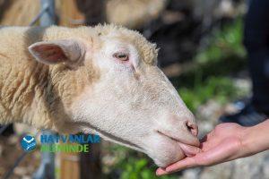 koyun beslenmesi