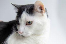 Smokin Kedi Özellikleri, Bakımı, Sağlığı, Eğitimi