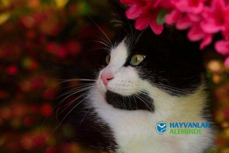 smokin kedi türü sağlığı